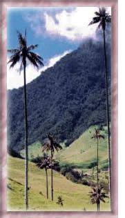 Palma de cera - Árbol nacional de Colombia – Simbolos patrios de colombia