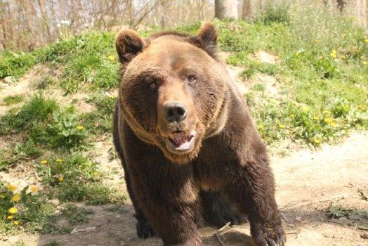 Bear Trek Transylvania   Tomorrow Bear