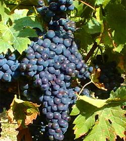 Merlot Grape  - Top variety for red wine and delicious snack.