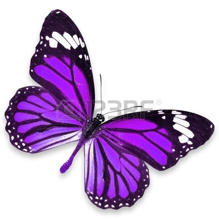Purple Butterfly vuelo aislado sobre fondo blanco photo