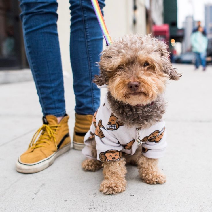 "Yogi, Yorkshire Terrier/Poodle mix (8 y/o), 46th & 12th Ave., New York, NY • ""He prefers vegetables to meat. If you start peeling a cucumber, he'll cry because he wants it so bad. He went to college with me – he went to every class and walked across..."