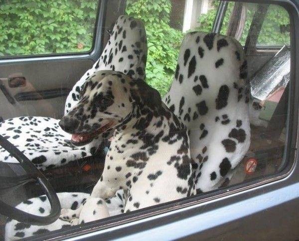 dogs in the car meme | Epic Pix » Like 9gag – just funny. » Camouflage level: Dog