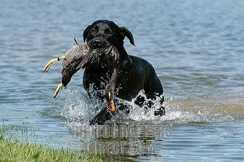 retriever in water with duck | ... black Labrador Retriever dog carrying a duck stock photo pd1380833.jpg