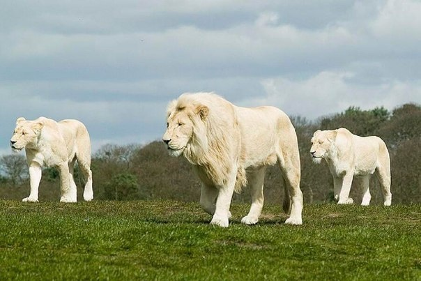 Beautiful albino lions!