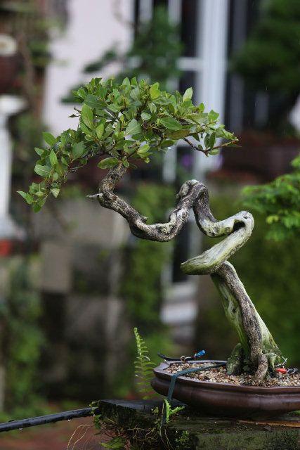 A green buttonwood in bonsai garden. WALTER MICHOT / MIAMI HERALD STAFF Read more here: Pembroke Pines gardener  has a passion for bonsai - Home & Garden - MiamiHerald.com