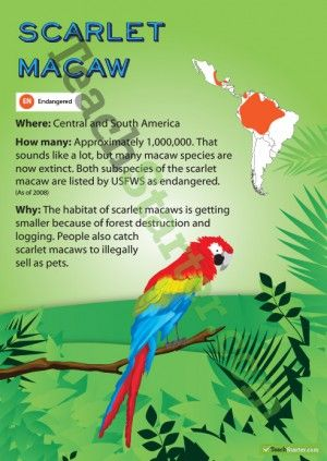 Scarlet Macaw Endangered Animal Poster. Now thought to be only 300 in the wild.......