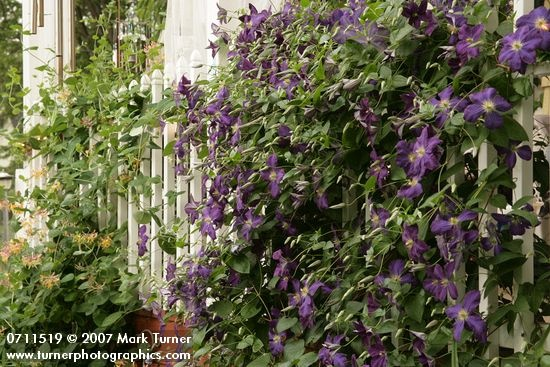 clematis front porch