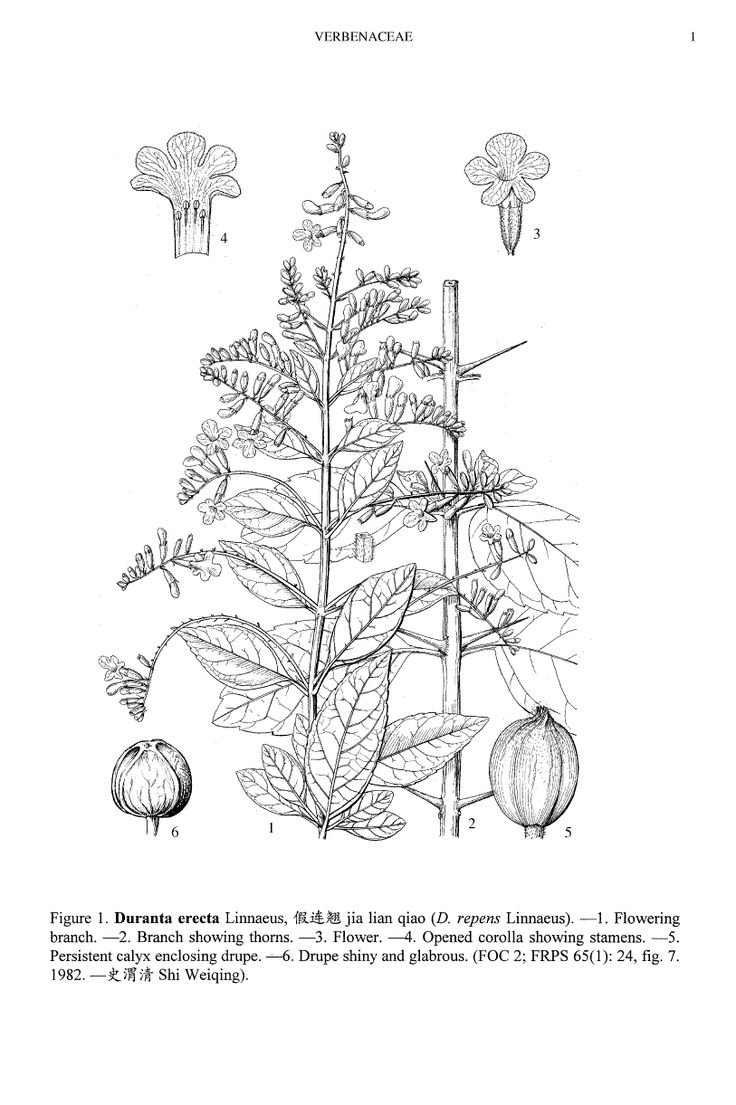 Illustration: Duranta erecta