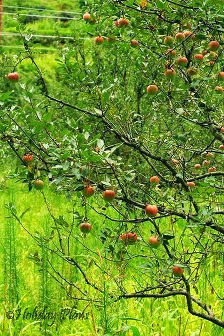 http://planning4holidays.blogspot.in/2015/01/kasol-mini-israel-of-india.html .. Apples in the Garden .. #scenic #valley #parvati #river #untouched #hills #mini #israel #bank #low #population #Himalaya #Sarpass #yanker #pass #Kheerganga #Kasol #Himachal #Pradesh #India #HolidayPlans