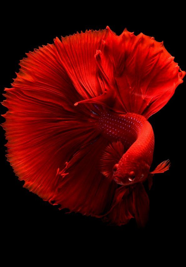 Picture Of A Siamese Fighting Fish Fish Wallpaper Siamese Fighting Fish Betta Fish