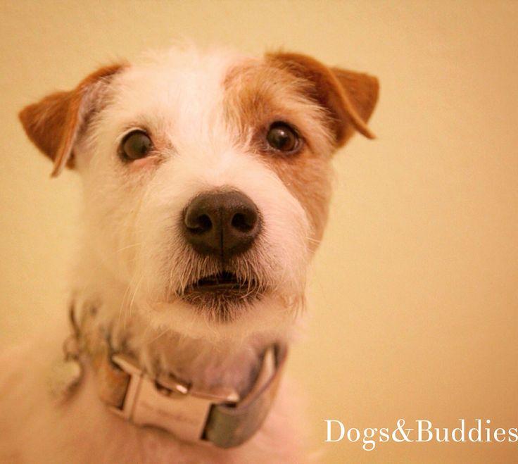 Mickey -Parson Russell Terrier - Oldenburg - Deutschland - Germany - Blog: dogsundbuddies.com - Halsband: prunkhund.de