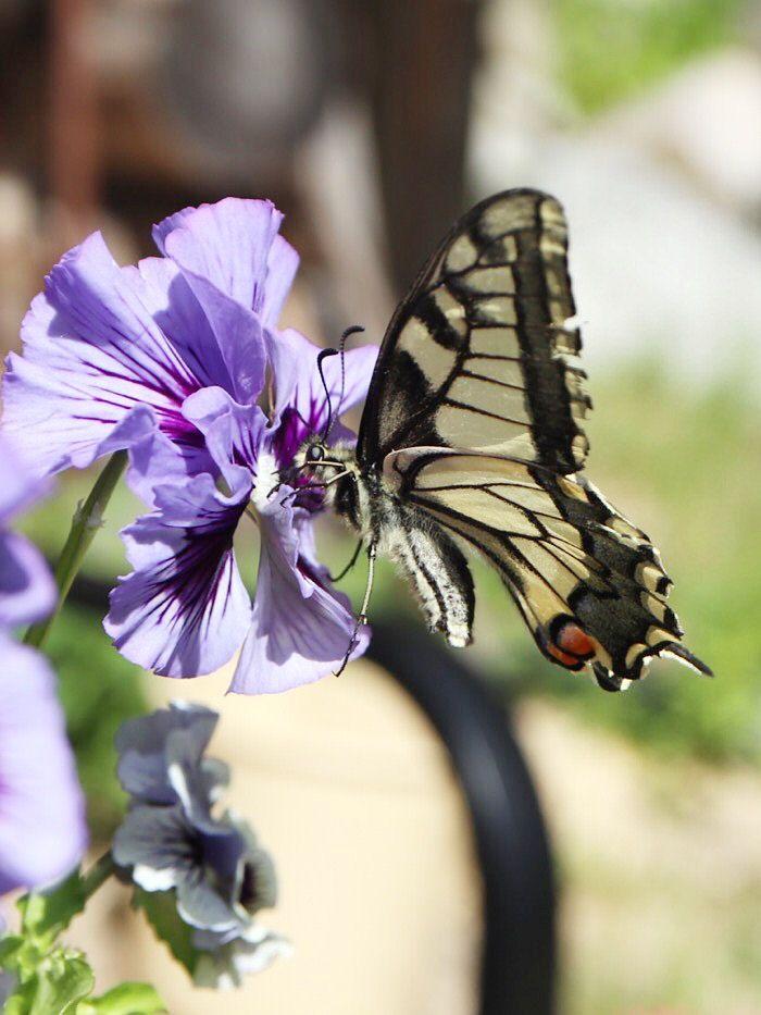Kaunis ritariperhonen // swallowtail butterfly