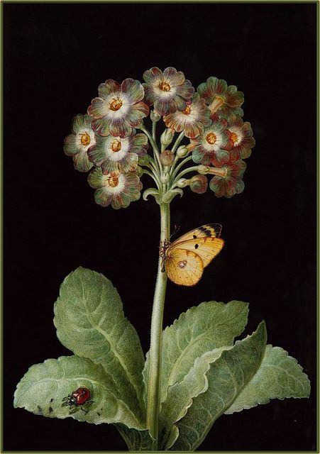 """Primula, ladybird and butterfly"" (18th century) from the circle of Barbara Regina Dietzsch 