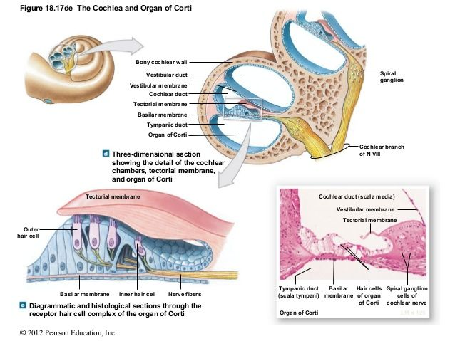 Image result for cochlea and an of corti   Three