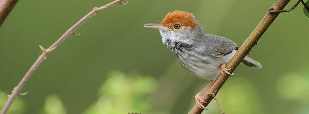 BBC News - Cambodian tailorbird (Orthotomus chaktomuk) - a new species seen in Phnom Penh