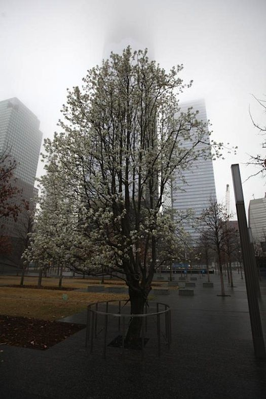 A Callery pear tree named Survivor's extraordinary story of survival post 9/11