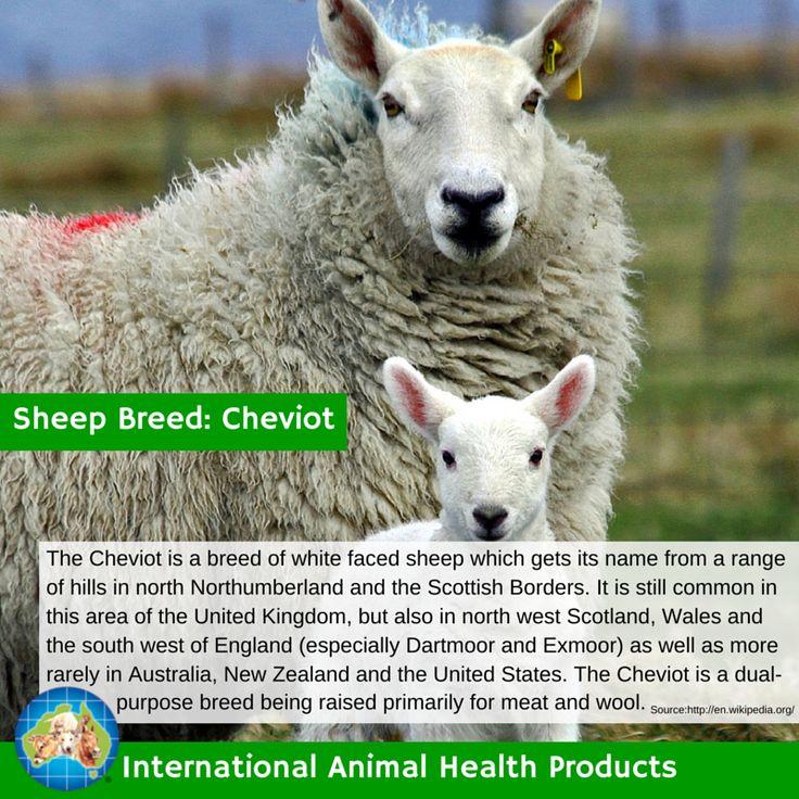 #cheviotsheep #cheviot #sheep #ram #ewe #lamb #sheepbreed #breed #facts #green #iah #iahp #internationalanimalhealth #poultry #animal #facts #breeds #livamol #protexin