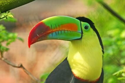 TOUCAN | Toucan Facts for Kids