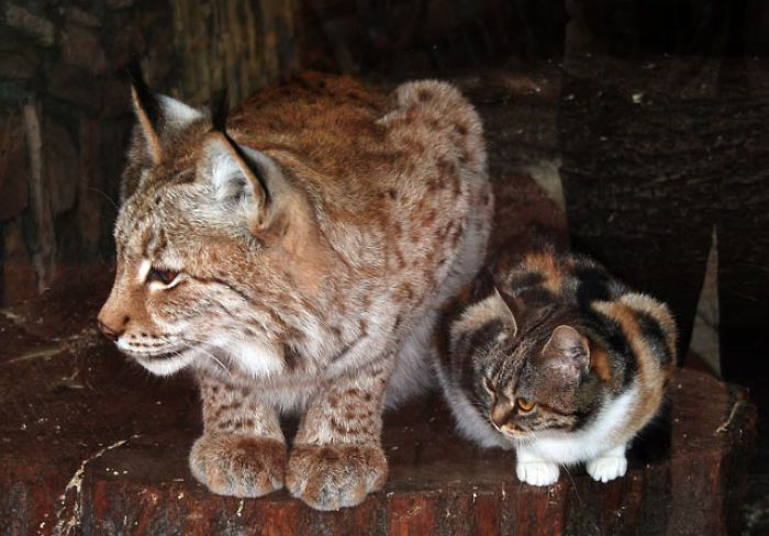 Cat Sneaks Into A Zoo And Becomes Friends With A Lynx!