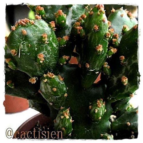 opuntia monacantha