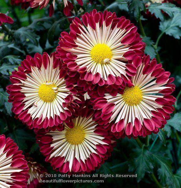 chrysanthemum x morifolium - photo #11