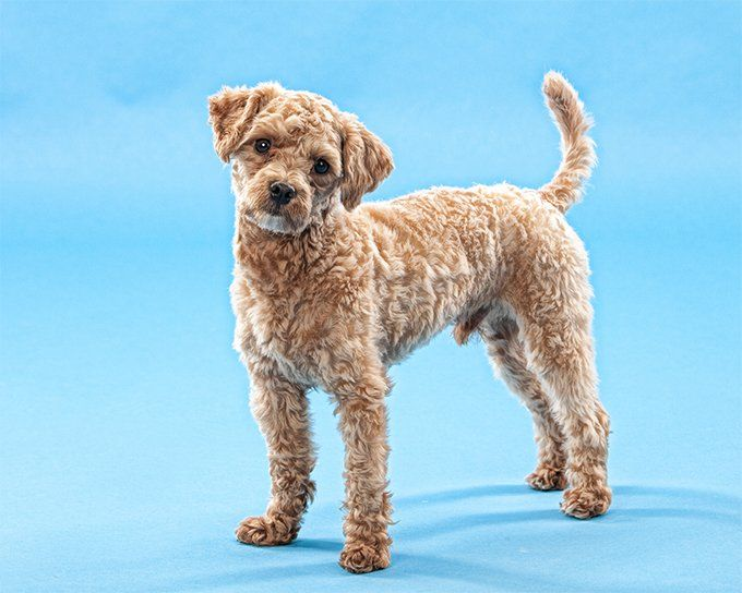 Poodle Dog Breed Information Pictures Characteristics Facts Dogtime