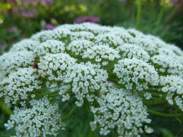 Zastosowanie tej rośliny, dzięki swoim właściwościom, bardzo dobrze sprawdza się w leczeniu licznych schorzeń.