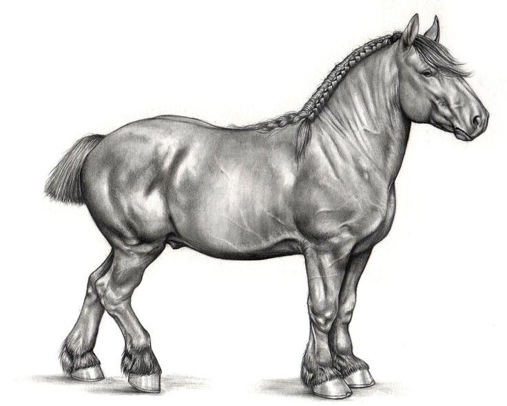 Caballo de tiro - Suffolk Punch, por Teresa Ramos | Dibujando.net  #animales  #lápiz #caballo #Suffolk #dibujo-grafito #Anatomía #anatomía #ayuda #caballos