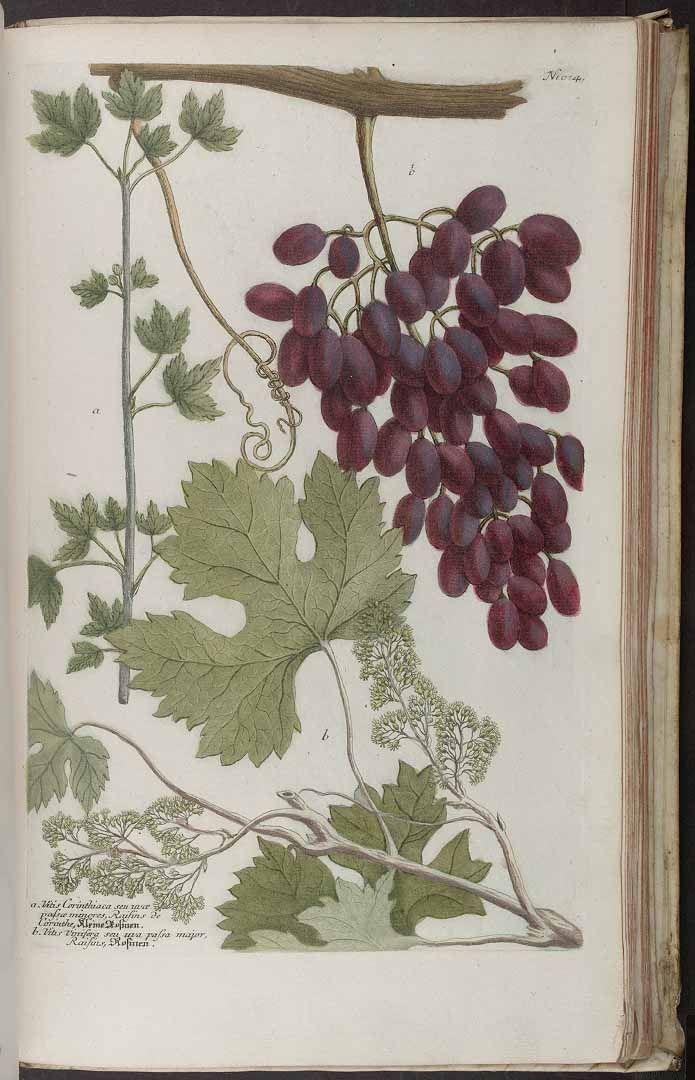 ヨーロッパブドウ Vitis vinifera (grape, vine), Weinmann, Johann Wilhelm (1745)