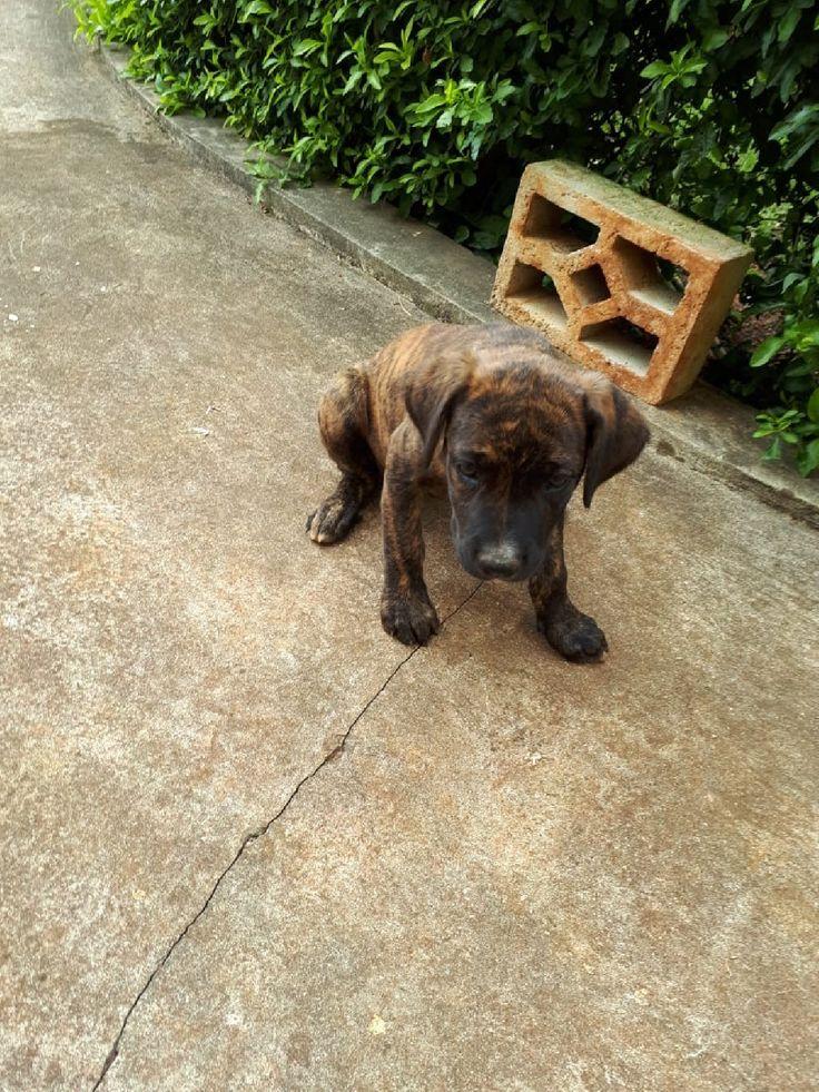 Bull mastiff great dane puppy for sale in mandeville