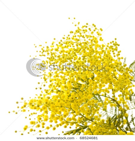 Mimosa plant - Woman's day is coming soon, March 8, get your girl a bouquet of Mimosa's!!