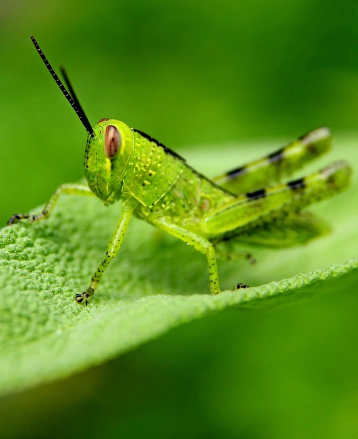 Picture of grasshopper ready to jump.