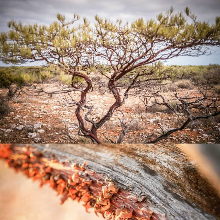 "37 Likes, 6 Comments - annette ruzicka (@annetteruzickaphotography) on Instagram: ""The beautiful minni ritchi tree. A signature tree of the Hamelin Station Reserve landscape. It's…"""