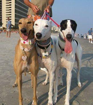 Greyhound In Myrtle Beach