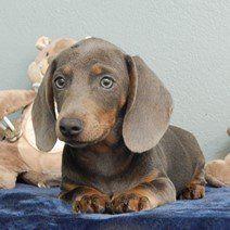 Teckel blauw pups te koop b - Teckel bleu chiots à vendre (5)