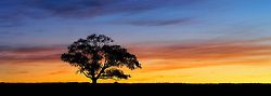 The sunset tree panorama - Jimbooma, QLD
