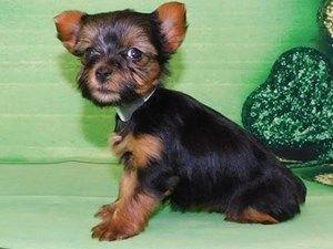 Puppies For Sale At Petland Hoffman Estates Illinois In 2020 Puppies For Sale Puppies Puppy Photos