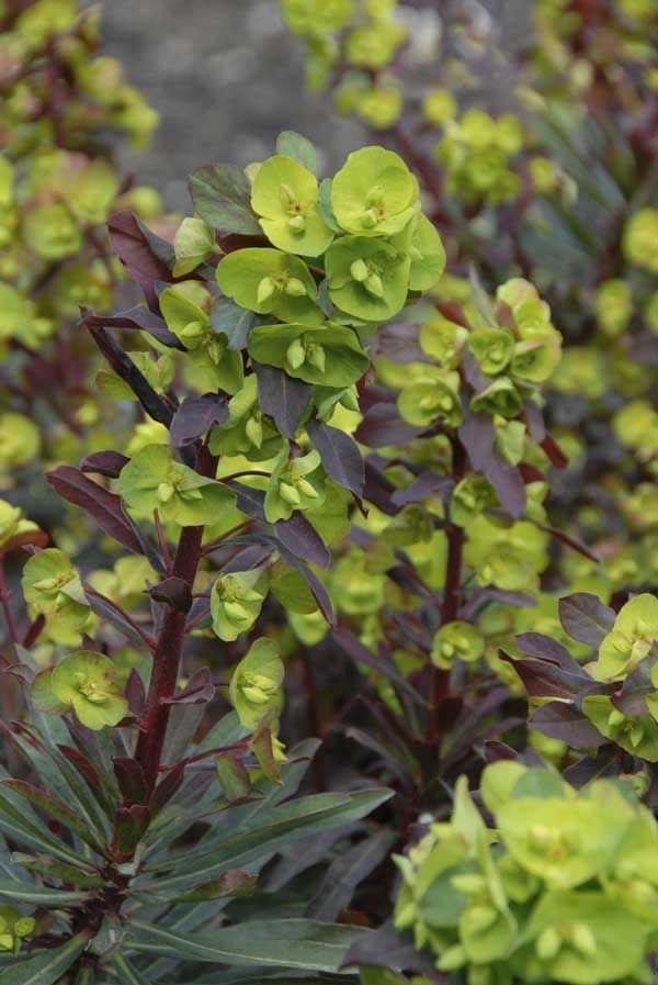 Euphorbia amygdaloides 'Purpurea' Three Dogs in a Garden: The Lure of the Darkside - Wood Spurge 'Purpurea', Euphorbia amygdaloides 'Purpurea': has greyish-purple-green foliage with chartreuse flower clusters in spring. It likes 3-6 hours of morning or afternoon sun. Euphorbia amygdaloides 'Purpurea' will grow a variety of soil types and can take everything from moist to dry conditions. Height: 30-45 cm (12-18 inches), Spread: 30-45 cm (12-18 inches