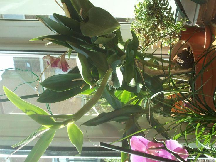 Dendrobium Kingianum www.orquideasencasa.com