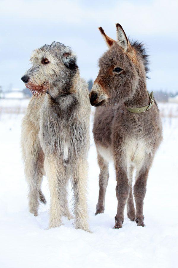 Snowy day pals...Irish Wolfhound & Mini Donkey.   Dogster