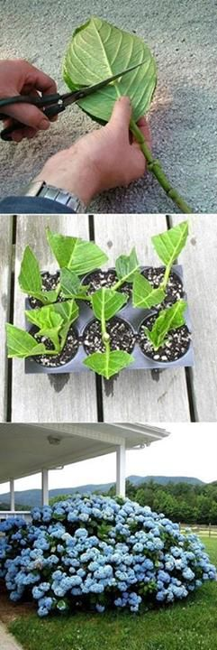 'how to grow hydrangea from cuttings..