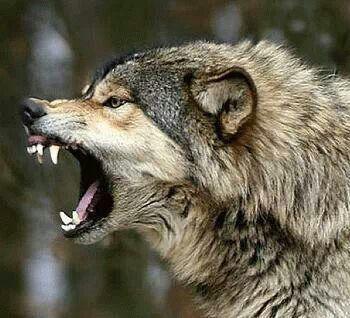 lobo                                                                                                                                                                                 More