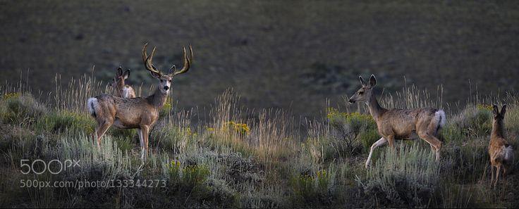 Nice Buck - Pinned by Mak Khalaf A mule deer buck with his herd. Animals Brad CheeseMule DeerWyominganimalsdeerwildlife by wyoavalanche