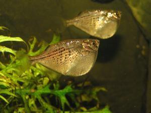 Sekierka čiernopruhá - vhodná ryba ku Betta Splendens