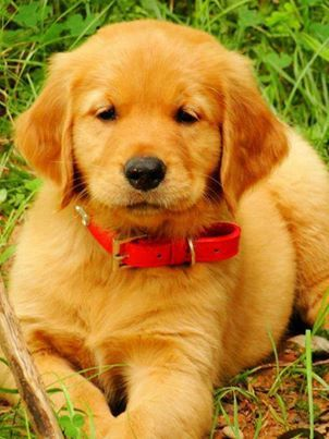 Golden Retriever Puppy with a Red Collar