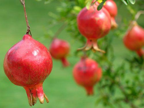 Granatäpple (Punica granatum) har under årtusendena ansetts vara en undergörande frukt och omnämns både i bibeln och av de gamla grekerna. Även den spanska staden Granada och det västindiska öriket Grenada har frukten att tacka för sina namn.