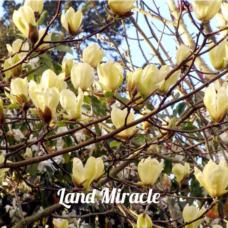 Great Find More Bonsai Information about Rare Chinese Yellow River Magnolia Flower Tree Plant Seeds Seeds