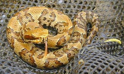 Photo Of Juvenile Cottonmouth Showing Reddish Coloration