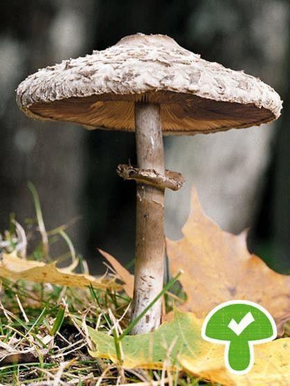 Parasol oder Riesenschirmpilz, essbar | Bild: picture-alliance/dpa