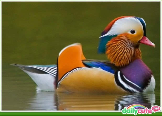 colorful ducks pictures - Yahoo Search Results